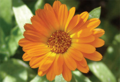 Ingredient - Calendula