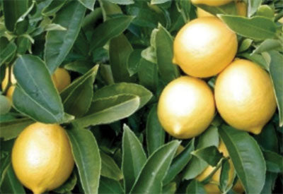 Ingredient - Lemon