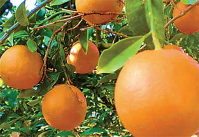 Ingredient - Oranges - Vitamin C