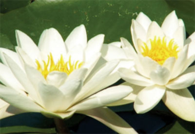 Ingredient - Water Lily