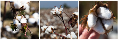 Fields of cotton bolls