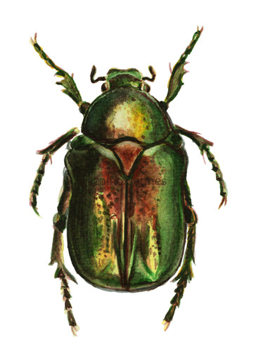 Aranyos rózsabogár | Golden Rose Chafer