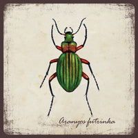 Aranyos futrinka - mágnes | Golden ground beetle - magnet