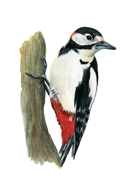 Nagy fakopáncs | Great-spotted woodpecker