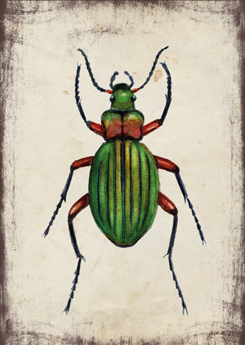 Aranyos futrinka - üdvözlőlap | Golden ground beetle - Greeting Card