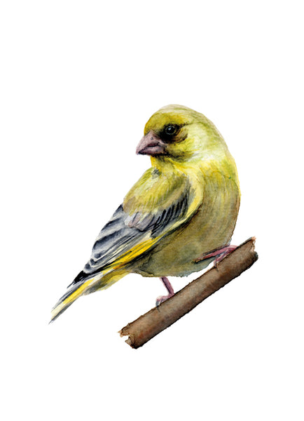 Zöldike | Greenfinch
