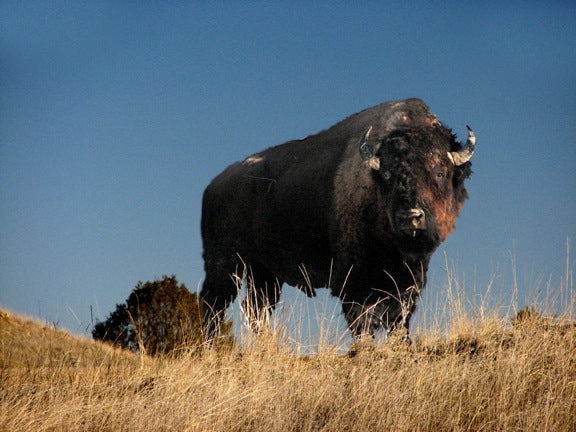 Bull bison against the South Dakota sky