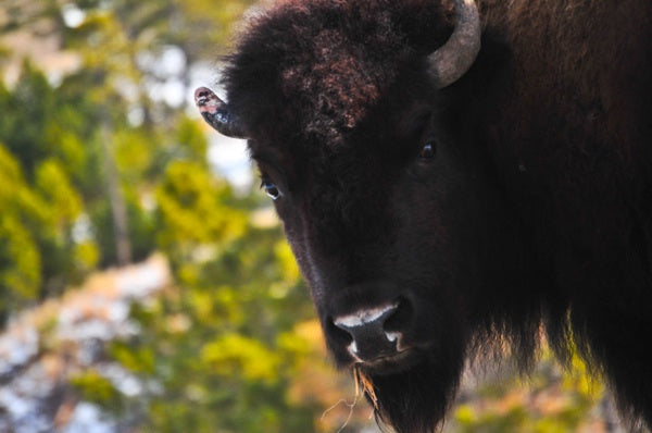 Tanka helps put bison 'back on the table' according to 'Cowboys & Indians' magazine