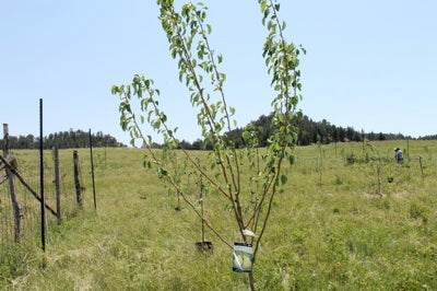 Fruit orchard planting finished on Pine Ridge