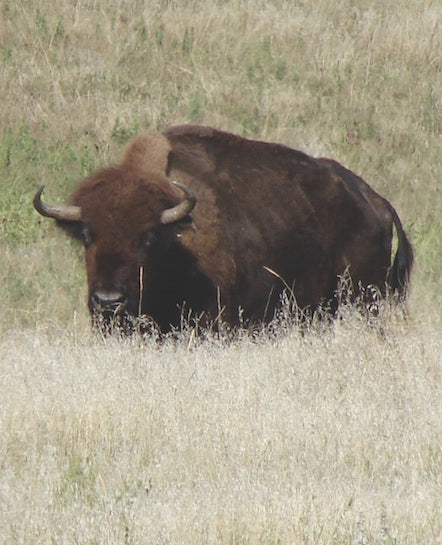 Bison Fact: The estimated bison population in 1910