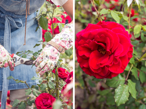Rose Gardening Tips with Denise Speer
