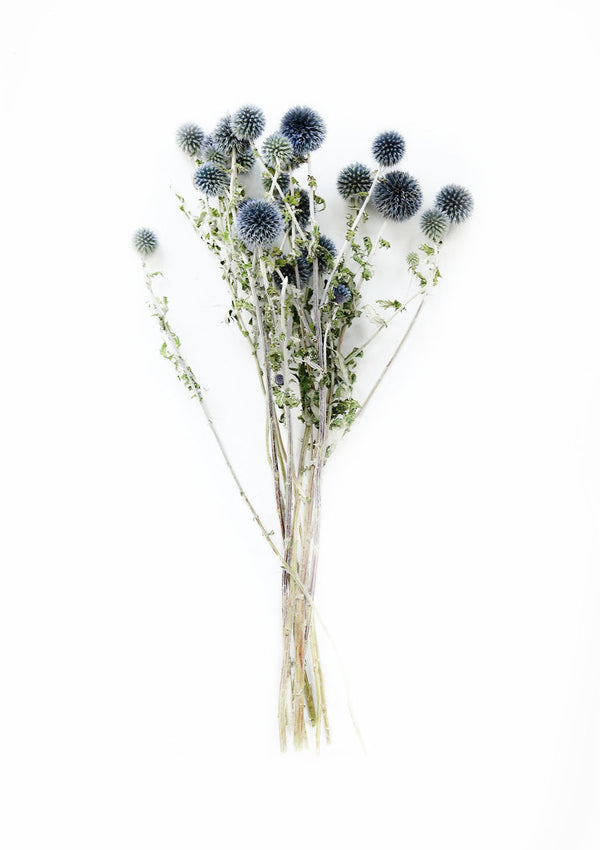 Dried Echinops Globe Thistle | Blue Green