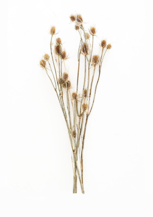 Dried Thistle Flowers | Natural Tan