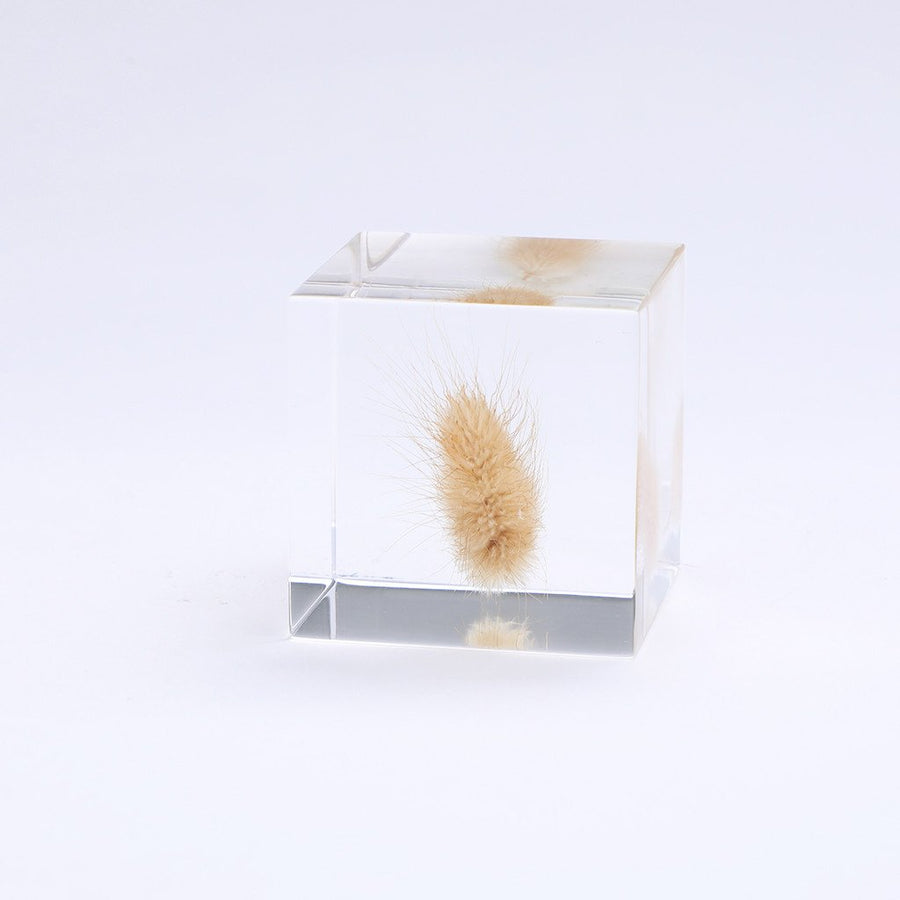Bunny tail grass Sola Cube