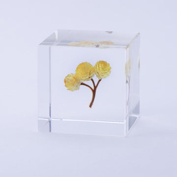 Immortelle Sola Cube