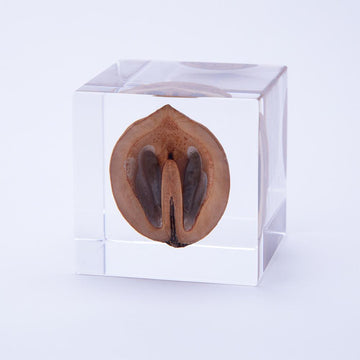 Japanese walnut Sola Cube