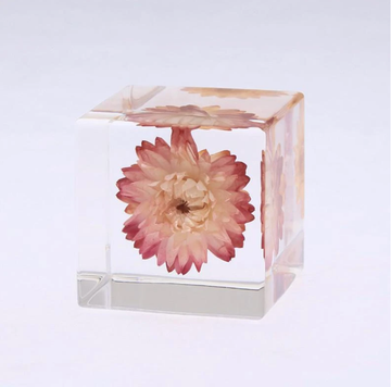 Strawflower Sola Cube