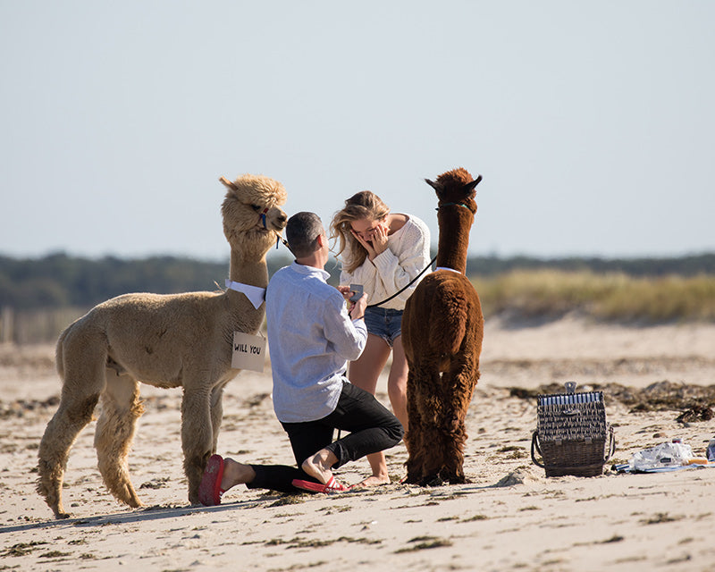 Alpaca Love - Couples add Wedding Proposals to their Alpaca Beach Walks
