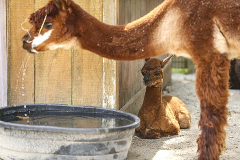 Baby Alpaca Steals Hearts at Niabi Zoo in Coal Valley
