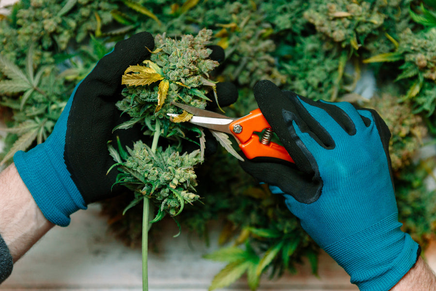 How To Harvest Your Weed