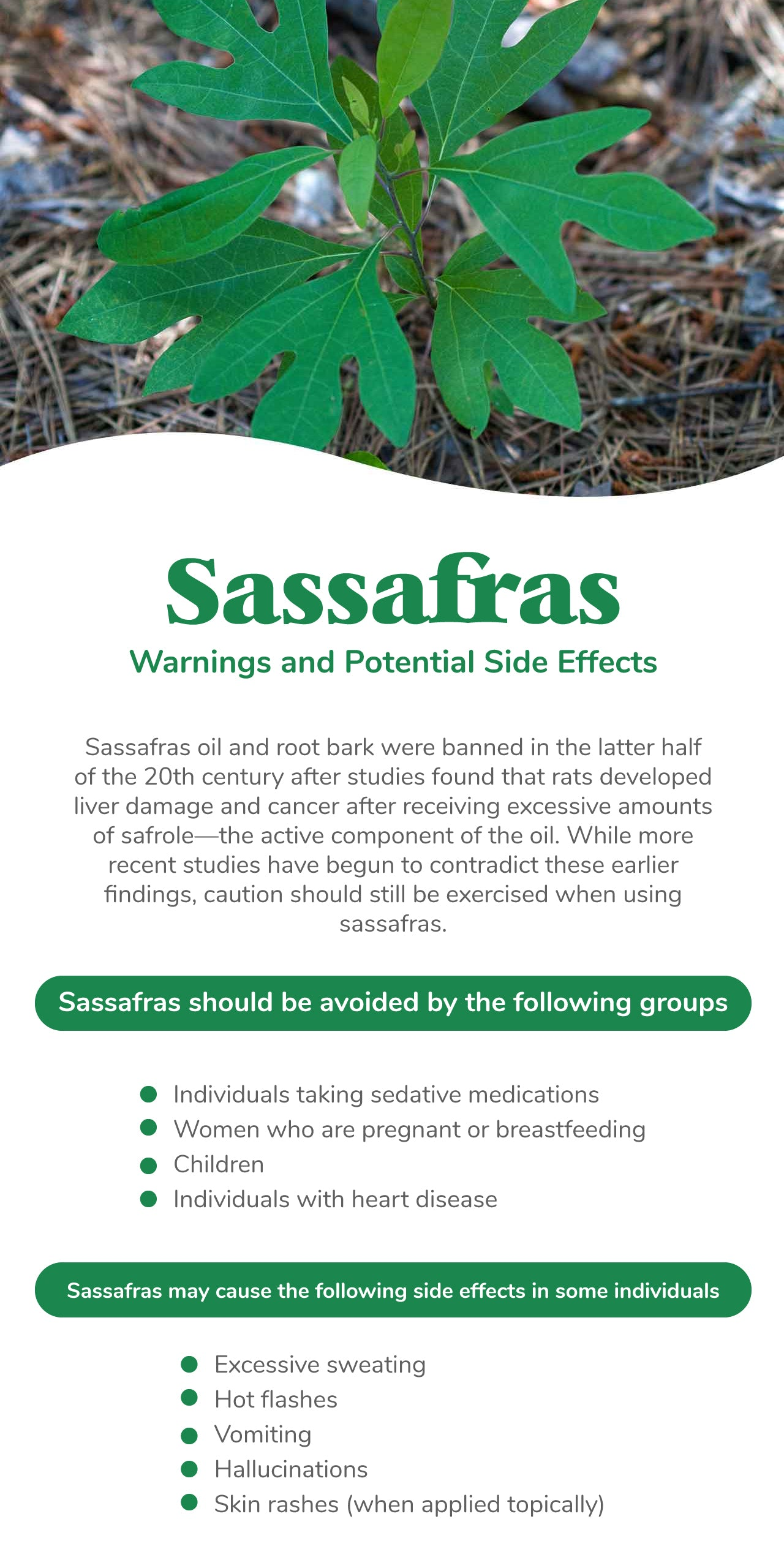 Sassafras Warnings and Potential Side Effects