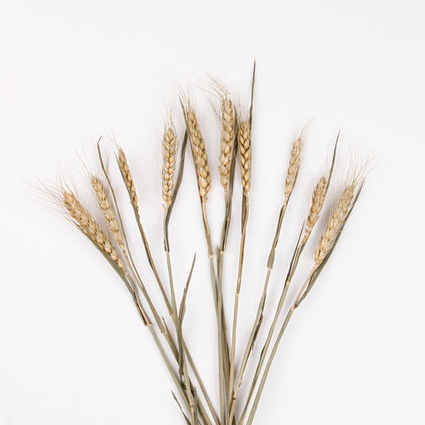Bunch of natural wheat