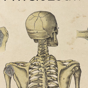Skull from Antique Skeleton Lithograph Poster - Rare 19th Century Medical Chart - Caxton Company - 1894 - 1800s Anatomy Litho - 33 x 23