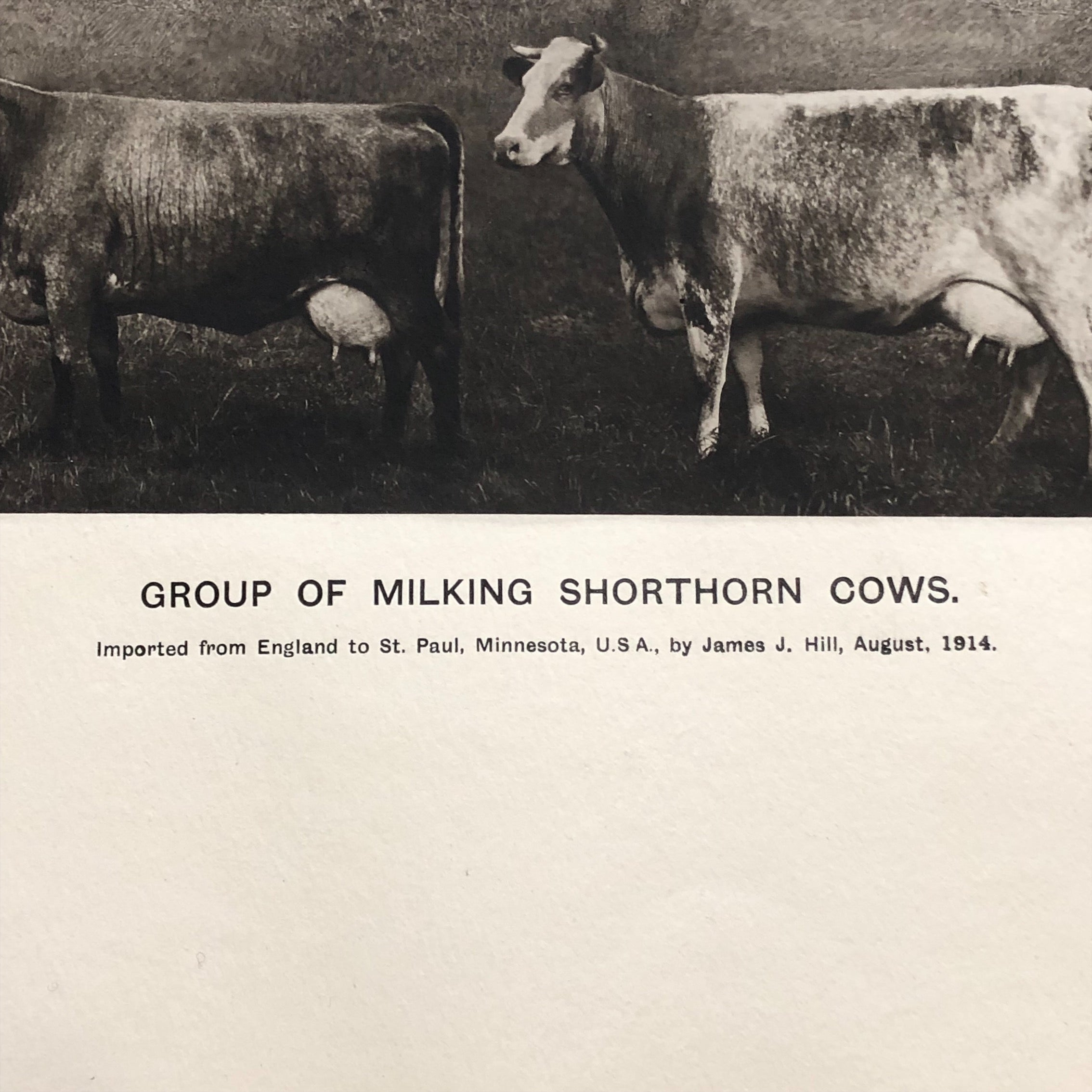 Antique Bovine Lithograph by G.H. Parsons - Group of Milking Shorthand Cows - Rare Animal Print