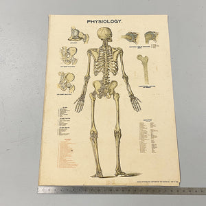 Antique Skeleton Lithograph Poster | Rare 19th Century Medical Chart