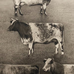 Antique Bovine Lithograph by G.H. Parsons - 1914 - James J. Hill - Group of Milking Shorthand Cows - Rare Animal Print