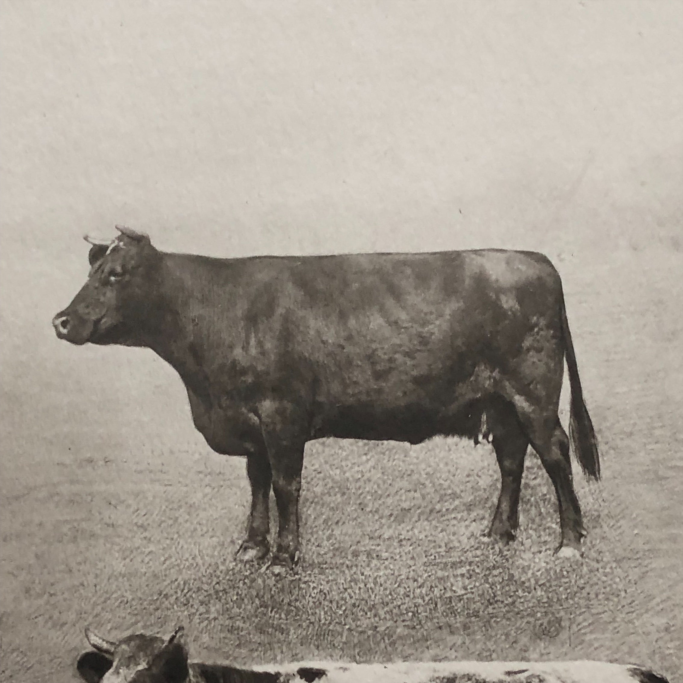 Antique Bovine Lithograph for James J. HIll | 1914