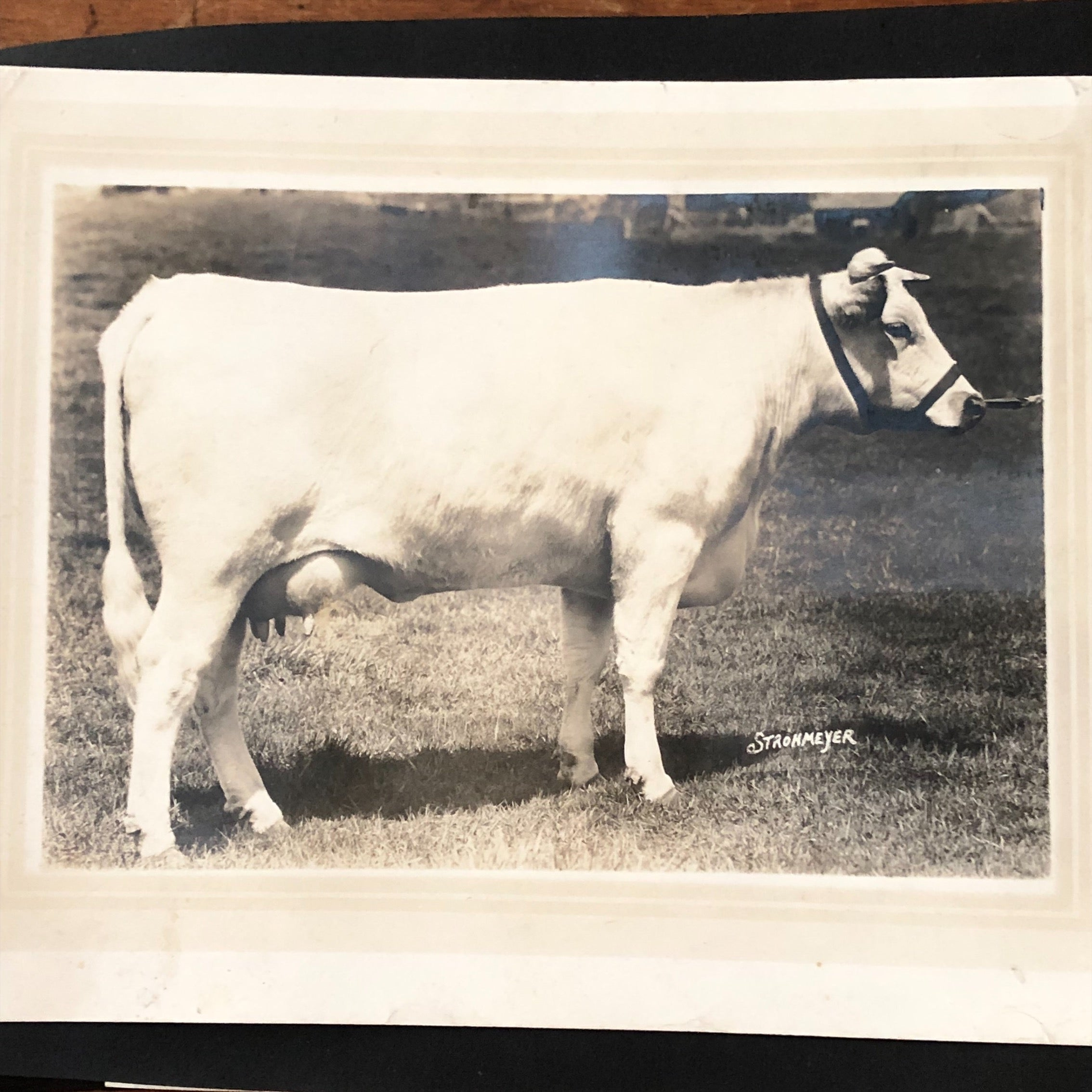 H.A. Strohmeyer Photograph of Cow