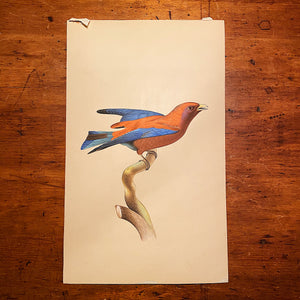 Bird Watercolor Paintings after Jacques Barraband (1767 - 1809) - Set of 2 - 1970s? - Petit Rollier Violet - Geat Orange - Mystery Artist Rare