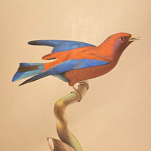 Bird Watercolor Paintings after Jacques Barraband (1767 - 1809) - Set of 2 - 1970s? - Petit Rollier Violet - Geat Orange - Mystery Artist