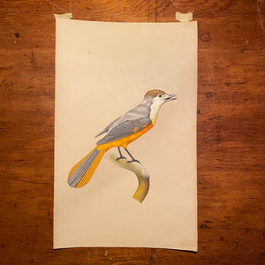 Bird Watercolor Paintings after Jacques Barraband (1767 - 1809) - Set of 2 - 1970s? - Petit Rollier - Geat Orange - Mystery Artist
