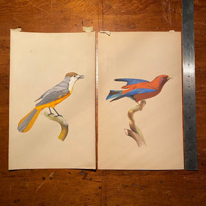 Bird Watercolor Paintings after Jacques Barraband | 1970s?