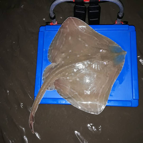 Small eyed ray fishing. Where to catch small eyed ray? Sea fishing anglesey. Caught on MOONGLOW 6mm lumi green attractors