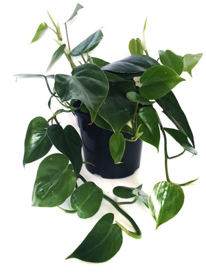 Philodendron Scandens (Heart-leaf philodedron)