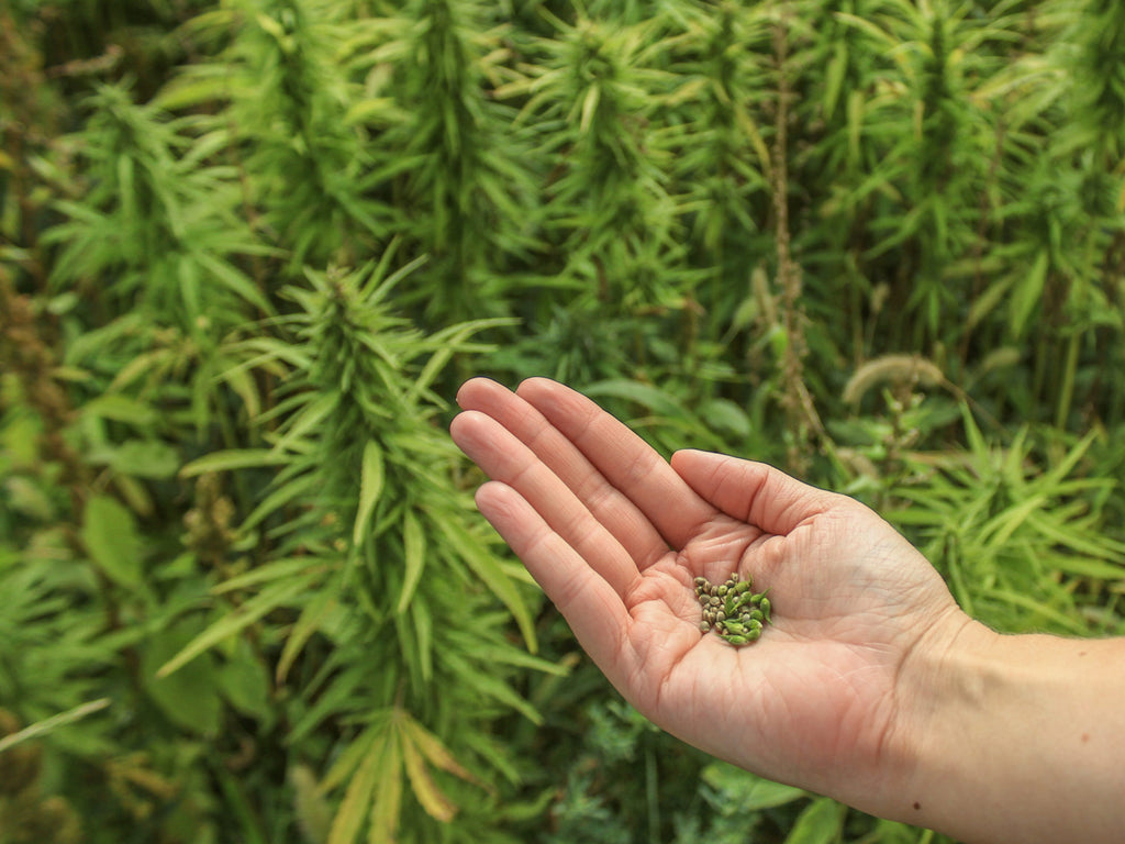 Hand holding seeds with hemp in background