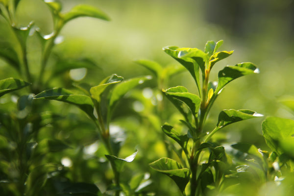 Six Types of Tea: Flavors, Processing, and Examples