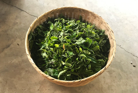Mansa Handcrafted Aged Tea | Our tea leaves are handpicked by farmers