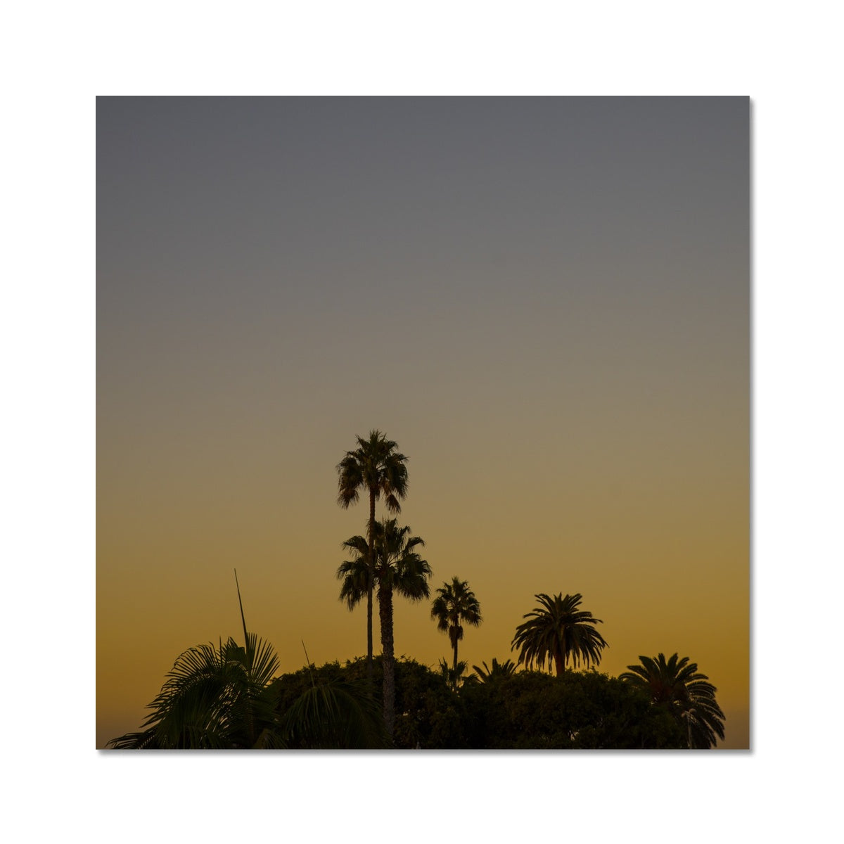 Los Angeles Palms_2 Hahnemühle Photo Rag Print