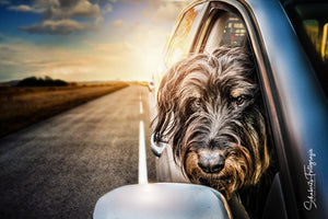 Hunde Fotoshooting Dogs & Cars