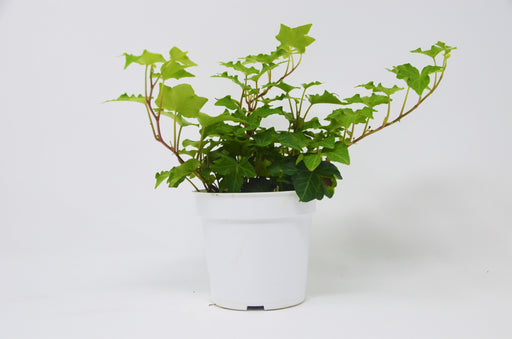 "2 Ivy Variety Pack - 4"" Pot"