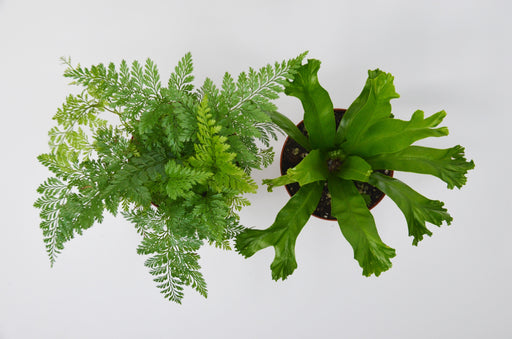 "2 Fern Variety Pack  - In  4"" Pot"