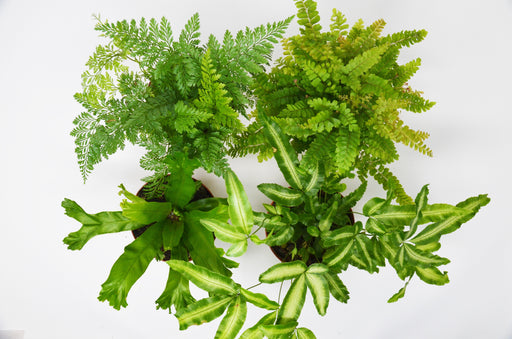 "4 Fern Variety Pack  - In  4"" Pot"