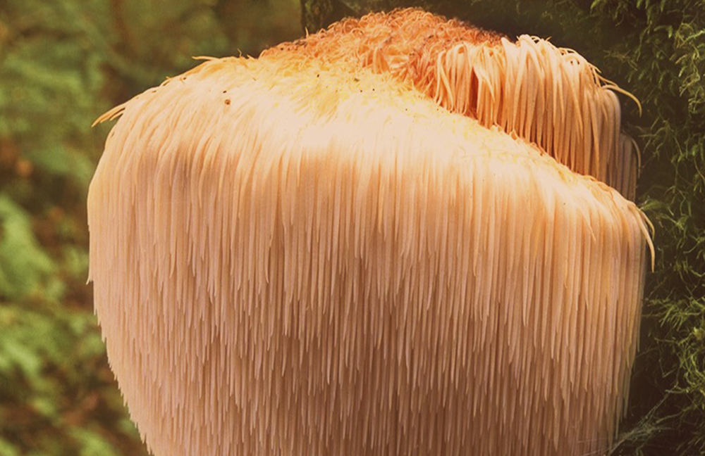 What Is Lions Mane Used For? | medicinal mushrooms | reishi mushroom | chaga mushroom | turkey tail mushroom | lions mane australia