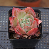 Echeveria Red Champagne