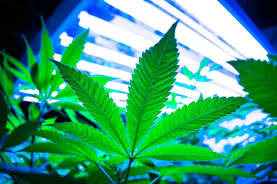 </p><br>New Technologies Enhance Cannabis Production in Large Grow Facilities