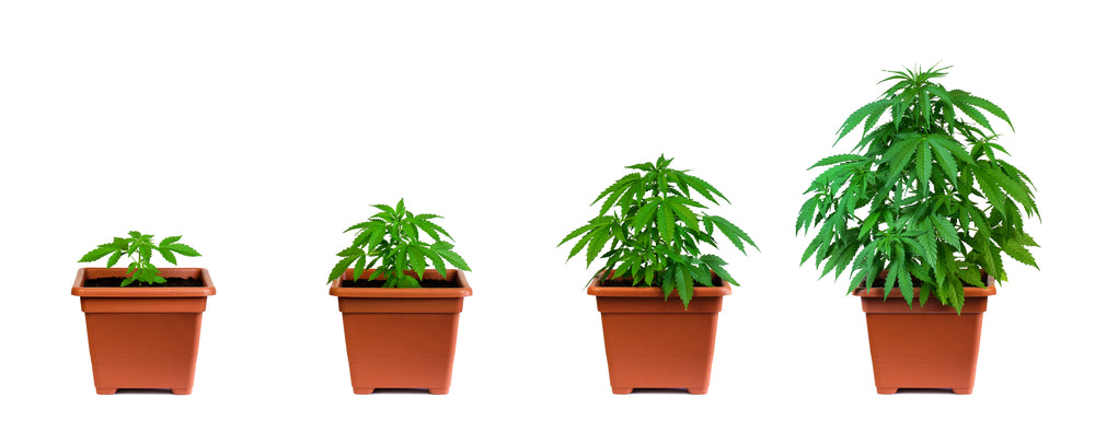</p></br></br><br></br>Your Cannabis Timeline: 4 Stages of Growing Indoor Marijuana Plants